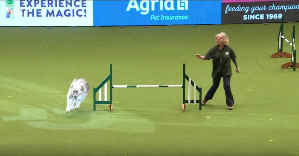 This Dog Doesn't Quite Get Agility But He's Doing His Best Ok