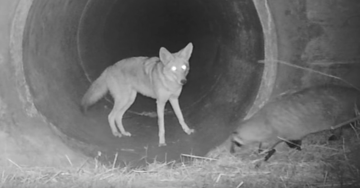 Watch This Video Of A Coyote And A Badger Who Are Friends And Weep